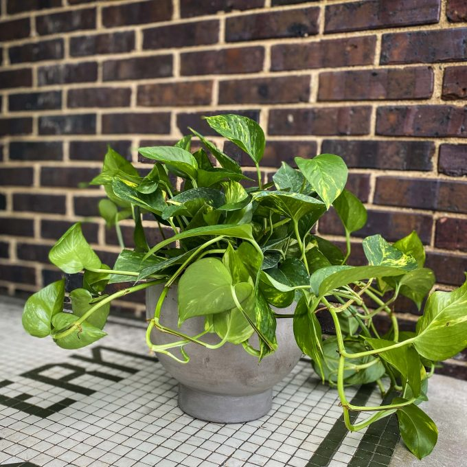 Philodenron Plant